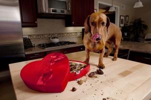 Куче похапва шоколадови бонбони