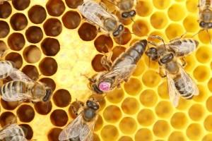 Пчела майка означена с номер 37