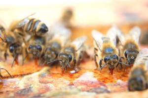 Пчели ядат мед