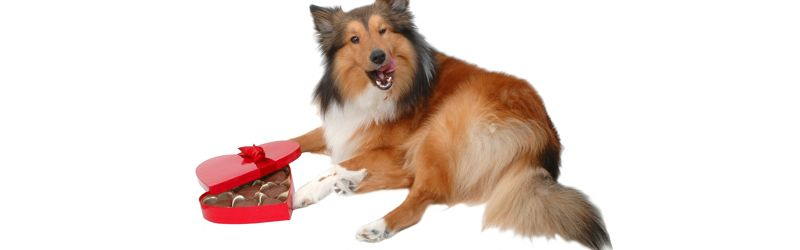 Куче и шоколадови бонбони