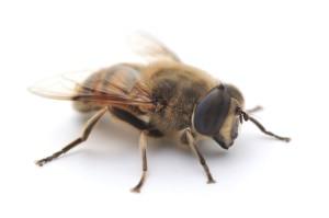 Търтей (мъжка пчела)
