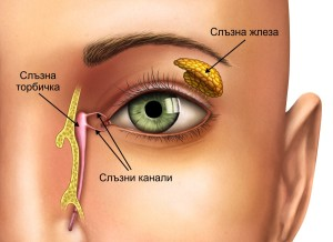 Анатомия на слъзна жлеза