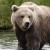 Кафява мечка