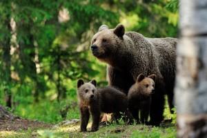 Кафява мечка със своите малки в гората
